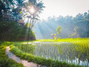 рисовые террасы Tegallalang